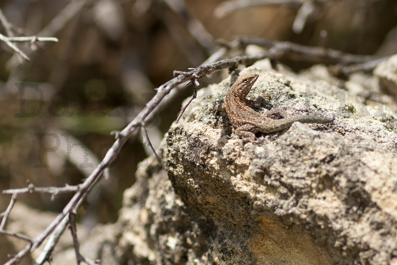 Common Side-blotched Lizard<br /> Randall County, Texas