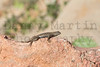 Plateau Fence Lizard<br /> Fremont County, Colorado.