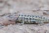 Desert Spiny Lizard<br /> Pima County, Arizona