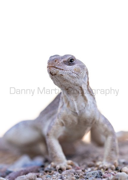 Desert Iguana (male)<br /> Pima County, Arizona