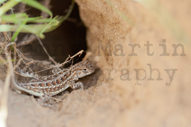 Lesser Earless Lizard (hatchling, in small mammal burrow entrance)<br /> Pawnee National Grassland, Weld County, Colorado.