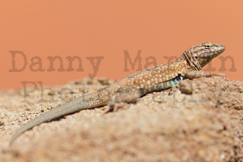 Common Side-blotched Lizard (male)<br /> Randall County, Texas.