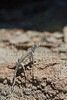 Greater Earless Lizard (female)<br /> Big Bend National Park, Brewster County, Texas.