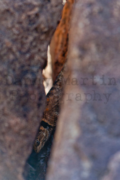 Texas Crevice Spiny Lizards<br /> Brewster County, Texas
