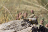 Plateau Fence Lizard<br /> Las Animas County, Colorado.