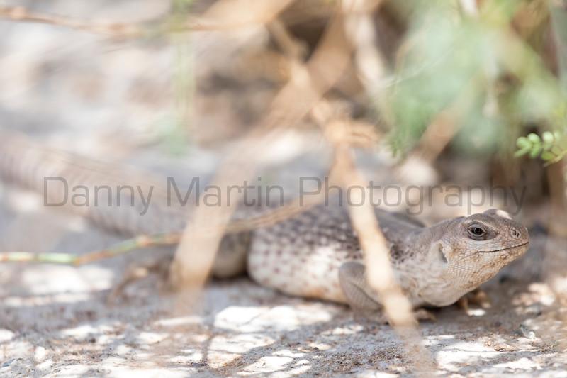 Desert Iguana (female)<br /> Pima County, Arizona
