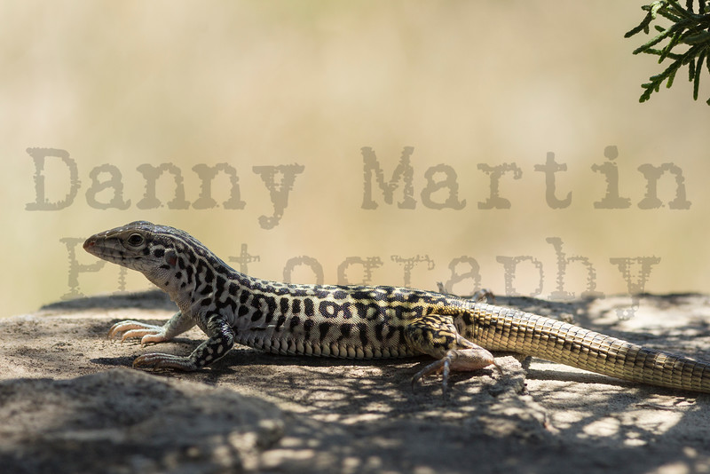 Common Checkered Whiptail<br /> Randall County, Texas