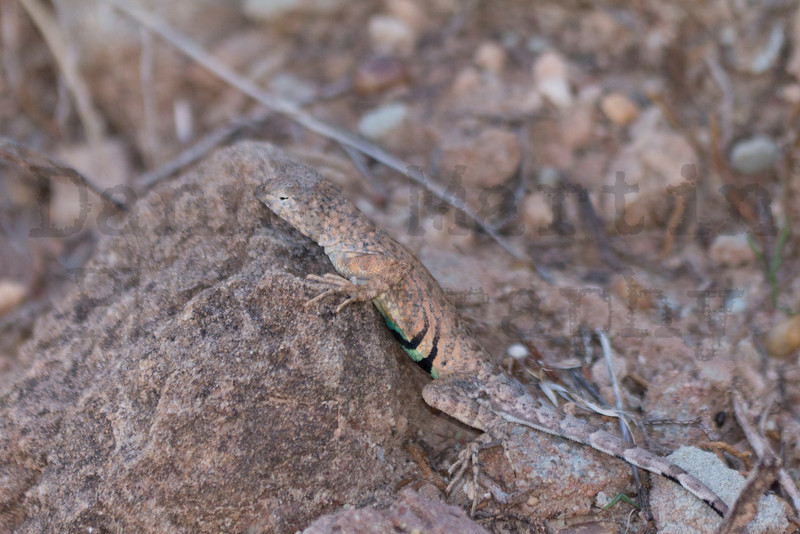 Greater Earless Lizard (adult male)<br /> Caprock Canyon State Park, Briscoe County, Texas.