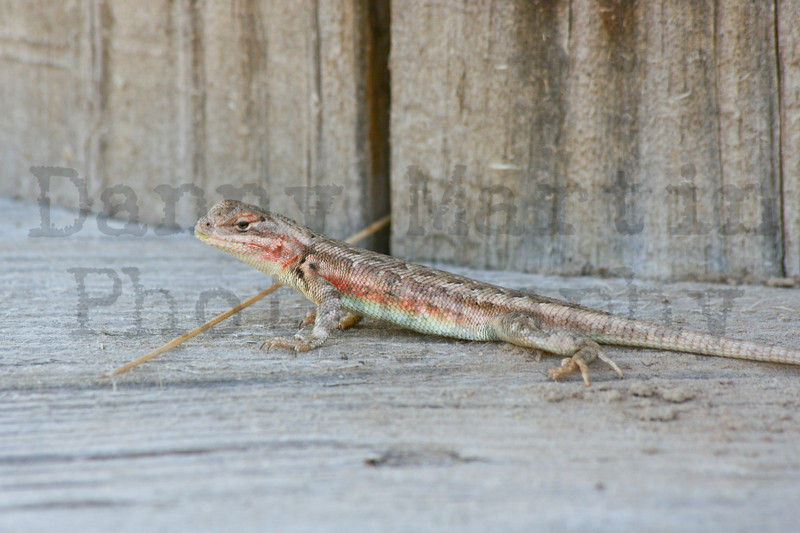 Common Sagebrush Lizard<br /> Moffat County, Colorado.
