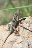 Lesser Earless Lizard <br /> Pawnee National Grassland, Weld County, Colorado.