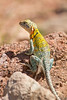 Eastern Collared Lizard (gravid female).<br /> Caprock Canyon State Park, Briscoe County, Texas.