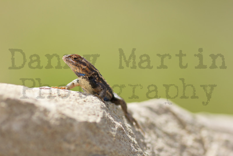 Prairie Lizard (male)<br /> Randall County, Texas.