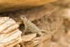 Prairie Lizard<br /> Otero County, Colorado.
