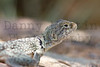 Eastern Collared Lizard (adult female)<br /> Cimarron County, Oklahoma.