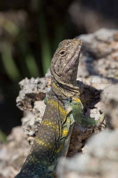 Eastern Collared Lizard<br /> Caprock Canyons State Park, Briscoe County, Texas.