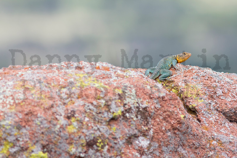 Eastern Collared Lizard (adult male)<br /> Comanche County, Oklahoma.