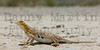 Lesser Earless Lizard (gravid female)<br /> Comanche National Grassland, Otero County, Colorado.