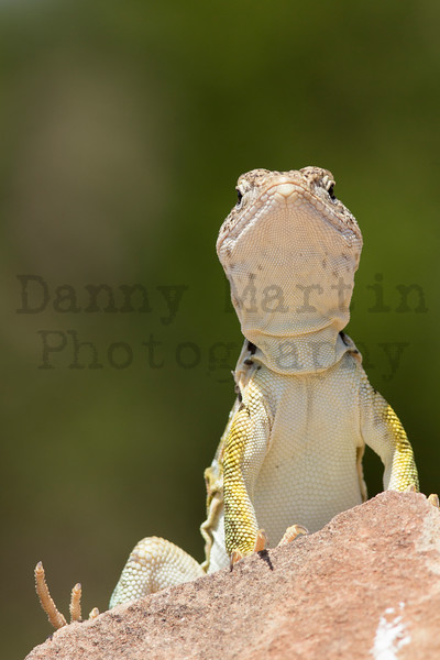 Eastern Collared Lizard (adult female)<br /> Randall County, Texas.