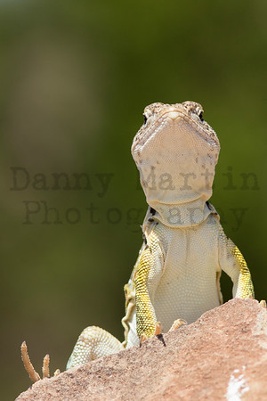 Eastern Collared Lizard (adult female) Randall County, Texas.
