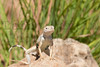Greater Earless Lizard (adult male)<br /> Briscoe County, Texas.