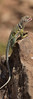 Eastern Collared Lizard (adult female) - panoramic stitched image<br /> Briscoe County, Texas.