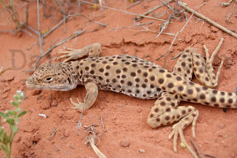 Long-nosed Leopard Lizard (female)<br /> Arches National Park, Utah