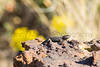 Prairie Lizard<br /> Las Animas County, Colorado