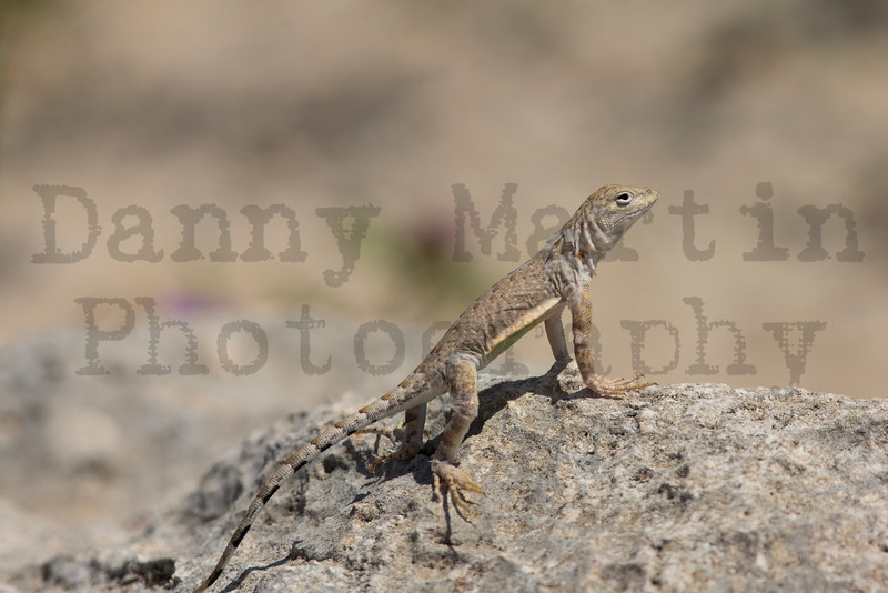 Greater Earless Lizard (adult female)<br /> Briscoe County, Texas.