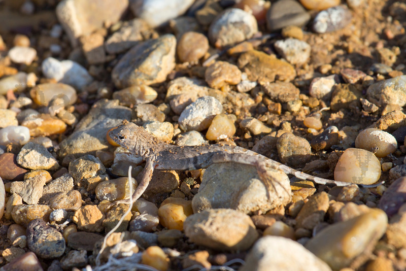 Greater Earless Lizard (hatchling)<br /> Caprock Canyons State Park, Briscoe County, Texas.