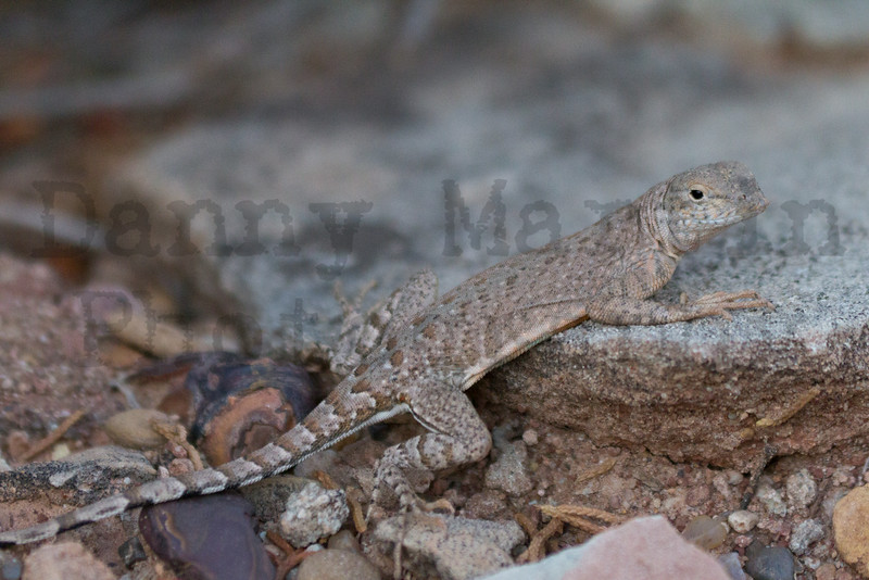 Greater Earless Lizard<br /> Caprock Canyon State Park, Briscoe County, Texas.