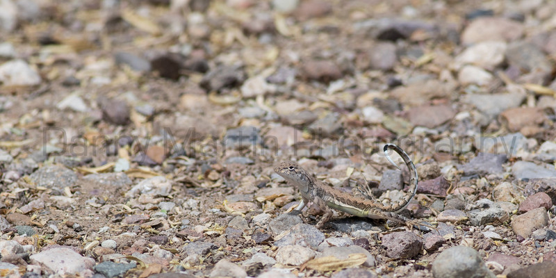 Zebra-tailed Lizard<br /> Pima County, Arizona