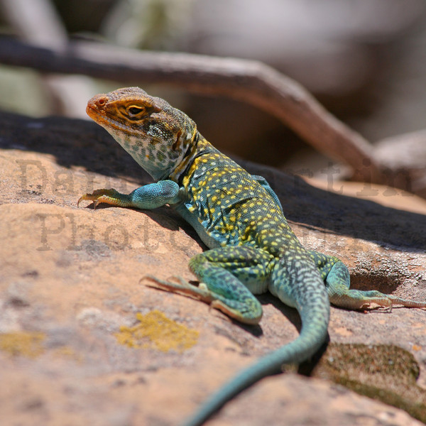 Collared Lizard.  Mesa Verde, Colorado.<br /> *Stitched Panorama
