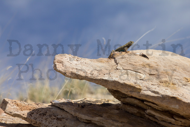 Plateau Fence Lizard (male)<br /> Comanche National Grassland, Otero & Las Animas County line, Colorado.