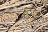 Six-lined Racerunner (male)<br /> Comanche National Grassland, Baca County, Colorado.