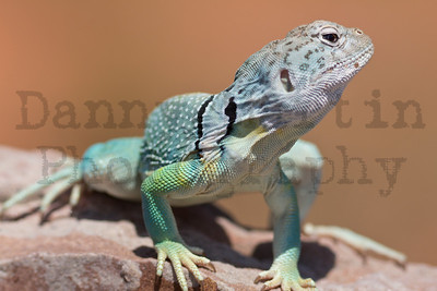 Eastern Collared Lizard (male). Caprock Canyon State Park, Briscoe County, Texas.