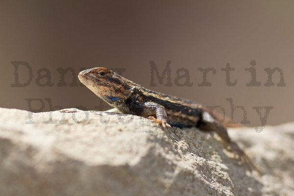 Prairie Lizard (male) Randall County, Texas.