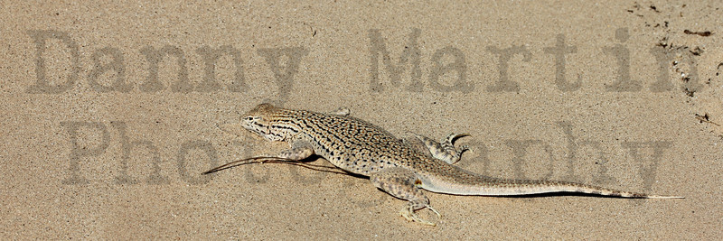 Colorado Desert Fringe-toed Lizard<br /> Imperial County, California.