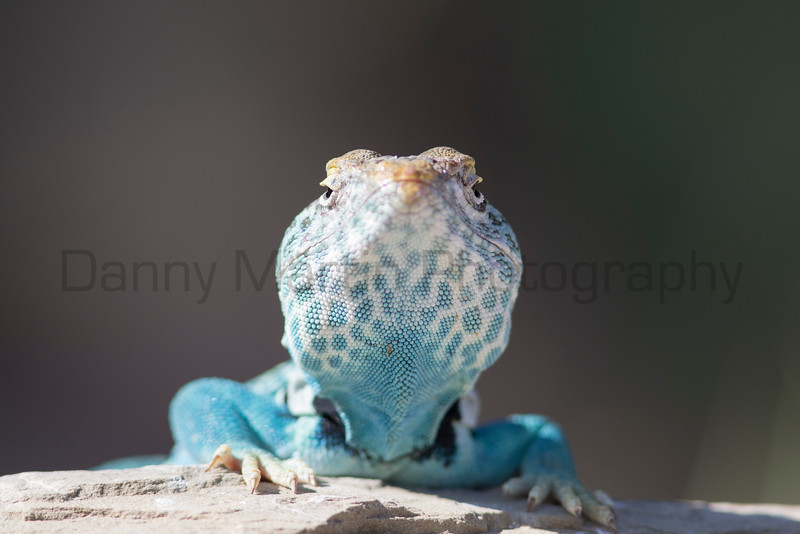 Eastern Collared Lizard (male)<br /> Hidalgo County, New Mexico
