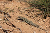 Lesser Earless Lizard (male)<br /> Rita Blanca National Grassland, Dallam County, Texas