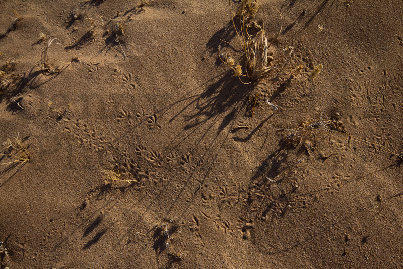 Gecko and arthropod tracks in sand<br /> Imperial County, California