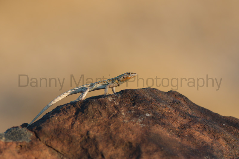 Common Side-blotched Lizard<br /> San Diego County, California