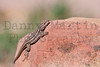 Common Sagebrush Lizard<br /> Mesa Verde National Park, Montezuma County, Colorado.