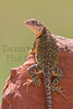 Eastern Collared Lizard<br /> Ellis County, Oklahoma.