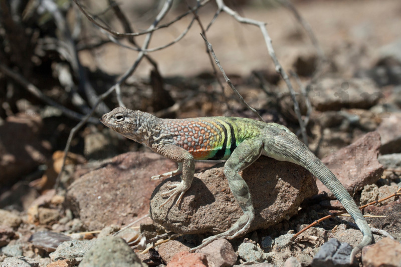 Greater Earless Lizard (male)<br /> Big Bend National Park, Brewster County, Texas.