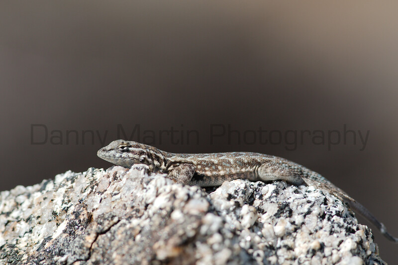 Common Side-blotched Lizard<br /> California
