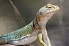 Eastern Collared Lizard (female)<br /> Comanche National Grassland, Otero County, Colorado.