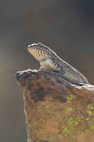 Prairie Lizard<br /> Otero County, Colorado