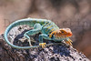 Collared Lizard (male).  Mesa Verde National Park, Colorado.