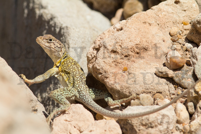 Eastern Collared Lizard (adult female)<br /> Briscoe County, Texas.