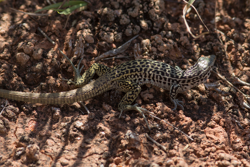 Common Checkered Whiptail<br /> Briscoe County, Texas
